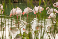Roze flamingo's in het water Stock Foto's