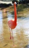 Roze flamingo's, het wilde leven Royalty-vrije Stock Foto's