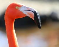 Roze flamingo's, het wilde leven Stock Afbeeldingen