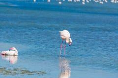 Roze flamingo's in Molentargius-vijver stock afbeeldingen