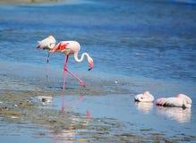 Roze flamingo's in Molentargius-vijver royalty-vrije stock foto's