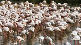 Roze flamingo's op het meer stock video