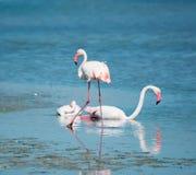 Roze flamingo's op het water stock afbeeldingen