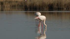 Roze flamingo's op meer, phoenicopterus, mooie witte rozeachtige vogel in vijver, aquatische vogels in zijn milieu, Camargue, Fra stock footage