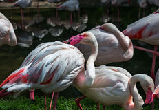 Roze flamingo's tegen groene achtergrond Doorboorde snavelvormige witte Flamingo Stock Foto's