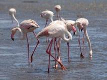Roze flamingo's in Walvis-Baai Stock Afbeeldingen