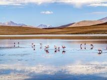 Roze flamingo's in wilde aard van Bolivië, Eduardo Avaroa Nationa Royalty-vrije Stock Fotografie