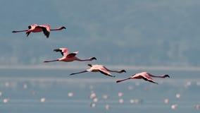 Roze flamingo'svliegen over het water Stock Afbeeldingen