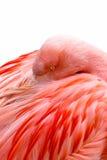 Roze Flamingo - veren Royalty-vrije Stock Afbeeldingen