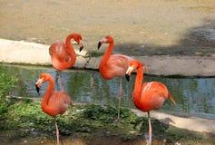 Roze flamingo vier die in vijver rusten Stock Afbeelding