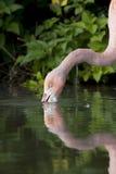 Roze flamingo in water Royalty-vrije Stock Afbeeldingen