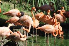Roze Flamingoes Stock Afbeeldingen