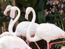 Roze Flamingoes Stock Afbeelding