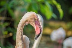 Roze flamingoportret stock foto's