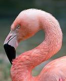 Roze flamingoportret Royalty-vrije Stock Fotografie