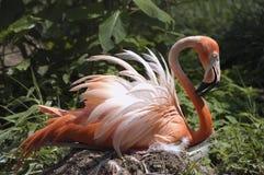 Roze flamingosittin op nest Royalty-vrije Stock Foto's