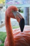 Roze flamingovogel Stock Foto's