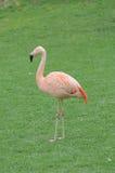Roze Flamingovogel op de Vloer stock fotografie