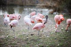 Roze flamingovogels Royalty-vrije Stock Afbeeldingen