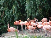 Roze flamingovogels Stock Afbeelding