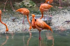 Roze flamingovogels Royalty-vrije Stock Foto's