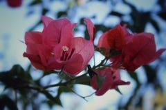 Roze flores Stock Afbeelding