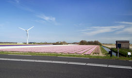 Roze flowers. View on a pink hyacinths field with a windmill in the background Stock Photography