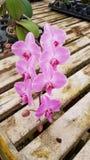 Roze flowy orchidee stock foto's