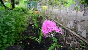 Roze flox in de tuin dichtbij omheining stock video