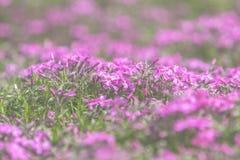 Roze Flox op de Lente Sunny Lawn Royalty-vrije Stock Fotografie