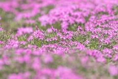 Roze Flox op de Lente Sunny Lawn Mooie Aardbloemen Ho Stock Fotografie