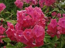 Roze floxbloemen Stock Foto's