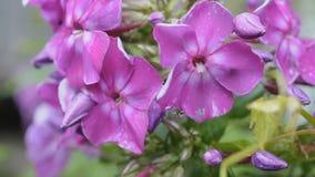 Roze floxbloemen na regen die op winden golven stock videobeelden