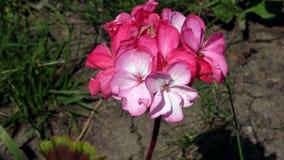 Roze floxbloemen onder gras Royalty-vrije Stock Foto's