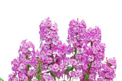 Roze floxxen op wit Royalty-vrije Stock Foto's