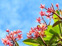 Roze frangipani in aardkader Stock Afbeelding