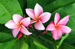 Roze Frangipani-Bloemen Stock Foto