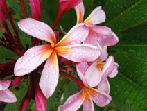 Roze Frangipani-Bloesem Royalty-vrije Stock Foto