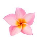 Roze Frangipani-geïsoleerde bloem Stock Fotografie