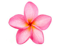 Roze Frangipani Plumeria Royalty-vrije Stock Afbeeldingen
