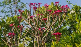 Roze frangipanibladeren in verse groene bladeren stock fotografie