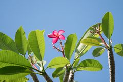Roze frangipanibloem, Phumeria stock foto's