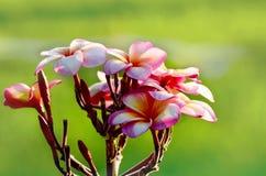 Roze frangipanibloemen op onscherpe groene achtergrond Stock Afbeeldingen