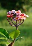 Roze frangipanibloemen op onscherpe groene achtergrond Royalty-vrije Stock Afbeeldingen