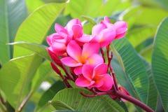 Roze Frangipanis-bloem Stock Foto