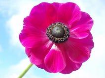Roze Franse anemoon royalty-vrije stock afbeelding