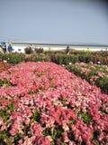 roze frower royalty-vrije stock afbeeldingen
