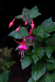 Roze Fuchsia Royalty-vrije Stock Foto's