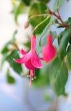 Roze fuchsia Royalty-vrije Stock Foto