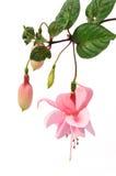 Roze fuchsiakleurig bloem die op wit wordt geïsoleerdn Stock Fotografie